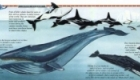 Unfolding World, 'Whales & Dolphins' fold-out panorama