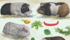 Guinee pigs as pets