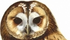 Animal Neighbours - Tawny Owl